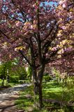 Sakura tree in Uzhgorod royalty free stock image