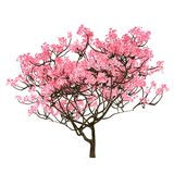 Sakura tree isolated Royalty Free Stock Photos