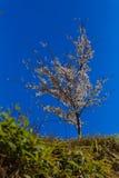 Sakura Tree   in Japan Royalty Free Stock Photo