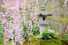 Sakura tree in Japanese garden Stock Image
