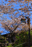 Sakura Tree and Lamp Royalty Free Stock Photos