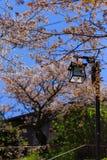 Sakura Tree and Lamp Royalty Free Stock Photos