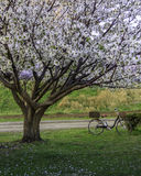 Sakura Tree at park Stock Images