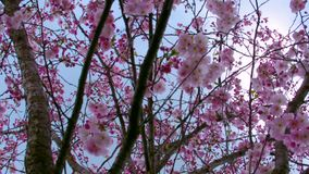 Close up background of sakura tree branches in the park. Sakura tree in the park stock video footage