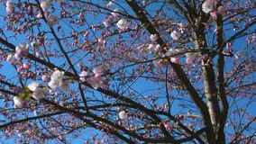 Close up background of sakura tree branches in the park in summer day. Sakura tree in the park in sunny weather stock footage