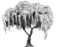 Sakura tree - pencil sketch. Sakura (cherry, plum of apple tree) in blossom. Pencil drawing, sketch isolated on white background stock illustration