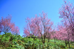 Sakura tree Stock Photography
