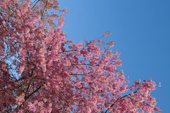 Sakura Tree Prunus himalayan salvaje cer de la cereza de Chiangmai Tailandia Fotos de archivo