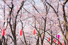 Sakura tree with red lantern Stock Images