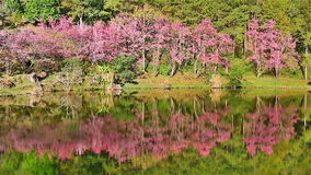 Sakura tree reflection in lake, HD1080P stock video footage