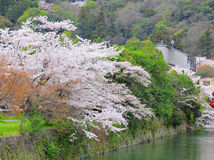 Sakura tree with river Stock Images