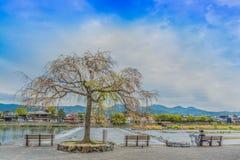 Sakura tree on riverside Arashiyama park. Sakura tree is blooming on riverside Arashiyama park in Kyoto prefecture Japan Stock Photos