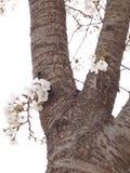 Sakura tree Royalty Free Stock Images