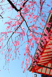 Sakura tree and temple Royalty Free Stock Image