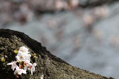 Sakura on Tree Trunk. Cherry blossom is an omen of good fortune and is also an emblem of love, affection and represents spring in Japan Royalty Free Stock Image