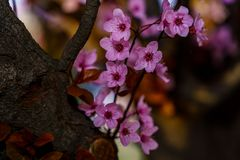 Sakura tree with blossom sprig with beautiful pink flowers close up royalty free stock image
