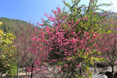 Sakura tree Royalty Free Stock Image