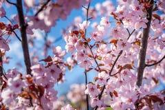 Sakura Tree y abeja del vuelo Sakura Garden hermosa en Lituania Imagen de archivo libre de regalías