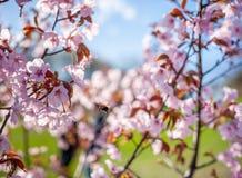 Sakura Tree y abeja del vuelo Sakura Garden hermosa en Lituania Imagen de archivo