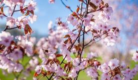 Sakura Tree y abeja del vuelo Sakura Garden hermosa en Lituania Fotografía de archivo