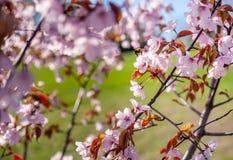 Sakura Tree y abeja del vuelo Sakura Garden hermosa en Lituania Foto de archivo