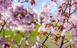 Sakura Tree y abeja del vuelo Sakura Garden hermosa en Lituania Foto de archivo libre de regalías
