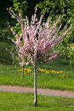Sakura tree Stock Image