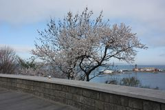 Sakura Trees de florescência Imagem de Stock Royalty Free