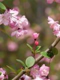 Sakura Trees floreciente Imagenes de archivo