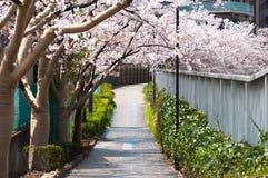 Sakura tunel przy Japonia jawnym parkiem w Tokio Obraz Stock