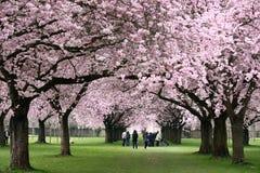 Sakura tunnel in Schwetzingen Royalty Free Stock Images