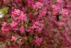Sakura twig Royalty Free Stock Photography