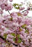 Sakura twig Stock Image