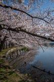 Sakura in Ueno Park stock images