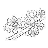 Sakura Um ramo curvado com flores e a cereja delicadas brota Fotografia de Stock Royalty Free