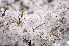 Sakura van wuhan universiteit Royalty-vrije Stock Afbeeldingen