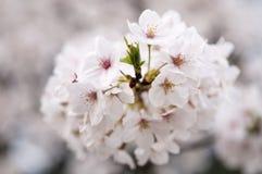 Sakura van wuhan universiteit Stock Afbeeldingen