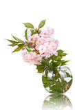 Sakura in a vase isolated Royalty Free Stock Images