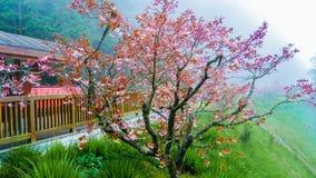 Sakura vermelho Fotografia de Stock Royalty Free