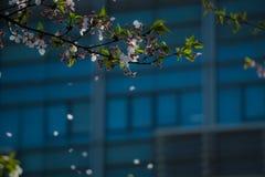 Sakura w środkowej wiośnie Obrazy Stock