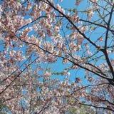 Sakura w Kijów, Ukraina zdjęcie royalty free
