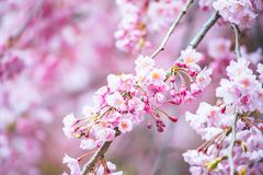 Sakura w kolorach fotografia royalty free