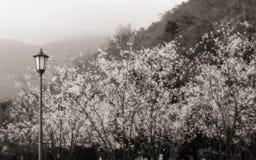 Sakura w mgle Zdjęcie Stock