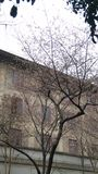 sakura w whu Zdjęcia Stock