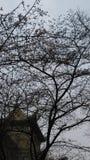 sakura w whu Obraz Stock