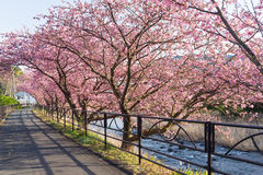 Sakura and walkway Stock Photography