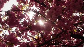 Sakura, which is growing in Europe, lovely pink spring flowers. Sakura, lovely pink spring flowers that adorn the ancient city of Uzhgorod in the center of stock video footage