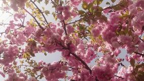Sakura, which is growing in Europe, lovely pink spring flowers. Sakura, lovely pink spring flowers that adorn the ancient city of Uzhgorod in the center of stock video