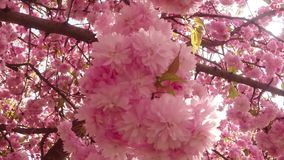 Sakura, which is growing in Europe, lovely pink spring flowers stock video