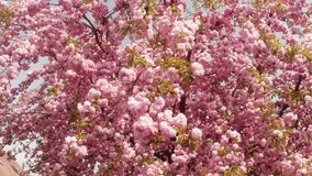 Sakura, which is growing in Europe, lovely pink spring flowers. Sakura, lovely pink spring flowers that adorn the ancient city of Uzhgorod in the center of stock footage